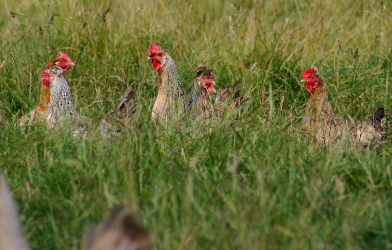 Lainchbury chickens in field 2015 March